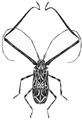 Acrocinus longimanus.png