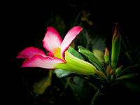 Unduh 1000+ Gambar Bunga Kamboja Dan Cara Penyerbukan Paling Keren