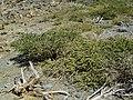 Adenocarpus viscosus 02 ies.jpg