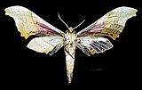 Adhemarius globifer MHNT CUT 2010 0 88 Estado de México male ventral.jpg