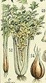 Adolphe Millot celeri.jpg