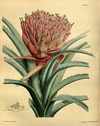 Aechmea longifolia Paxton 65.jpg