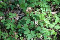 Aegopodium podagraria covering the ground.jpg