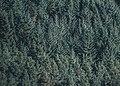 Aerial view of pine woods (Unsplash).jpg