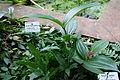 Aeschynanthus radicans - Botanischer Garten, Dresden, Germany - DSC08615.JPG