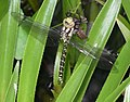 Aeshna cyanea - Common Hawker.jpg