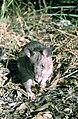 Afr-giant-rat.jpg