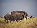 African elephant (20438418704).jpg