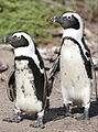 African penguin, Spheniscus demersus, at Stony Point, Betty's Bay, Western Cape, South Africa (25142167522).jpg