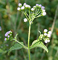 Ageratum conizoides in Narshapur forest, AP W IMG 0805.jpg