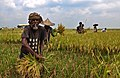 Agriculture of Bangladesh 1.jpg