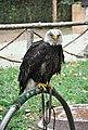 Aguila calva-Monasterio de piedra.JPG