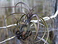 Air Plant (1), NPSPhoto, S (9102091624).jpg