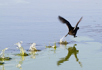 American coot - American coot on take-off