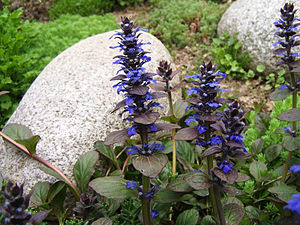 Ajuga genevensis - Ajuga reptans, a relative with which A. genevensis sometimes interbreeds.