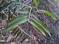 Alangium salviifolium 05.JPG