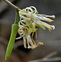 Alangium salviifolium in Keesaraguda, AP W2 IMG 9104
