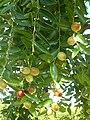 Alb-Z. jujuba-fruit-8.jpg