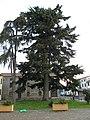 Albero secolare a destra della facciata della chiesa parrocchiale di Trecenta 01.jpg