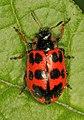 Alder Leaf Beetle - Chrysomela interrupta, Leesylvania State Park, Woodbridge, Virginia - 25616106286.jpg