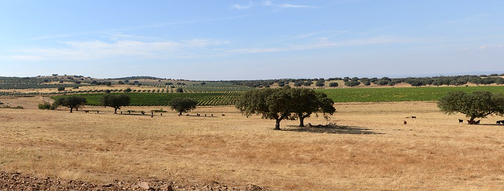 typical country sight of the alentejo the trees in the foreground are cork oaks