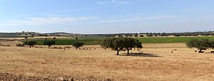 Alentejo - Typical country sight of the Alentejo. The trees in the foreground are cork oaks (Quercus suber), together with the remains of a cut wheat field. In second and third plan we can see vineyards (Vitis vinifera) and olive trees (Olea europea). Wheat, cork, olive oil and wine are the most publicized products of the Alentejo.