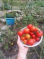 Algerie - Tomates du jardin.jpg