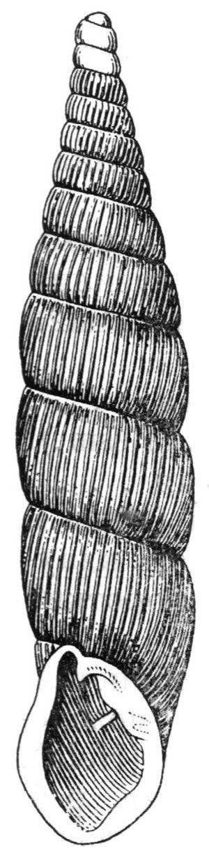 Alinda biplicata - A drawing of a shell of Alinda biplicata
