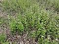 Alliaria petiolata SCA-160504-01.jpg