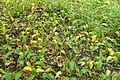 Allium ursinum kz08.jpg