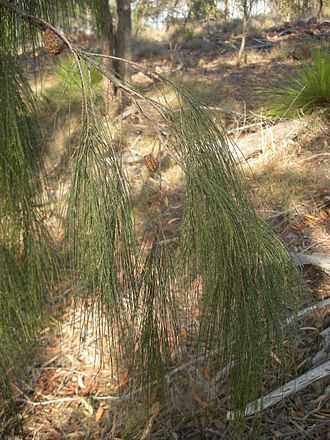 Allocasuarina torulosa - Foliage and fruits