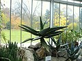 Aloe ferox (19).jpg