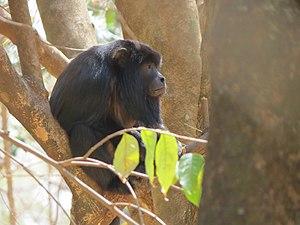 Black howler - Male in a semidecidous forest in Brazil.