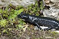 Alpine salamander - Salamandra atra (43897218874).jpg