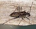 Alydus calcaratus MHNT Profil.jpg