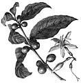 AmCyc - The Coffee Plant.jpg