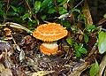 Amanita gayana (Mont.) Sacc 884933 crop.jpg