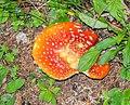 Amanita muscaria near Lac de Mines d'Or (4).jpg
