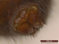 Amaurobius fenestralis (25444290957).jpg