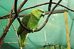 Amazona auropalliata -captive-8a (1).jpg