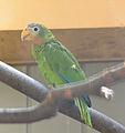 Amazona collaria -Vienna Zoo, Schonbrunn Palace, Vienna, Austria-8a.jpg
