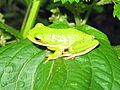 American Green Tree Frog (Hyla cinerea) - Flickr - GregTheBusker.jpg