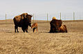 American bison family (5847577492).jpg