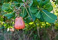 Anacardium occidentale from Margarita island.jpg