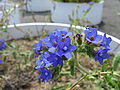 Anchusa officinalis3.jpg