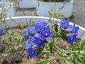 Anchusa officinalis3.jpg