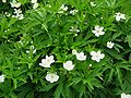 Anemone canadensis01.jpg