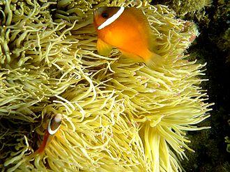 Cinnamon clownfish - Image: Anemonefishfiji