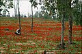 Anemones Field.JPG