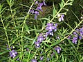 Angelonia species-yercaud-salem-India.jpg
